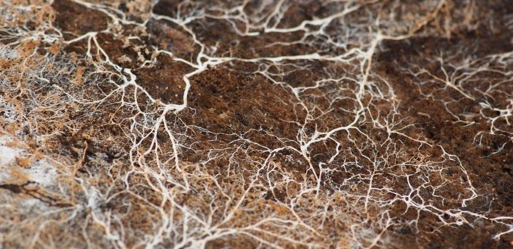 Guide : La symbiose des mycorhizes dans votre terre, un allié pour votre culture