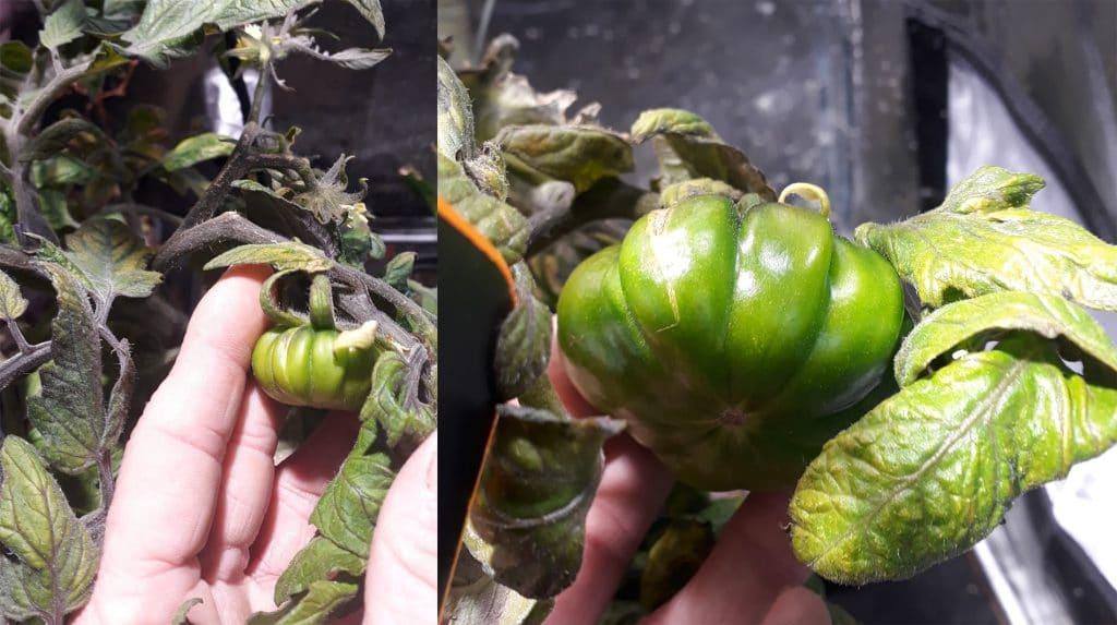Ça pousse ! : Tomates, fraises et petits pois chez Gandalf (Hydro&Culture Morlaix)