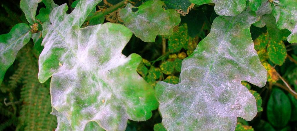 Soins & Maladies : L'oïdium