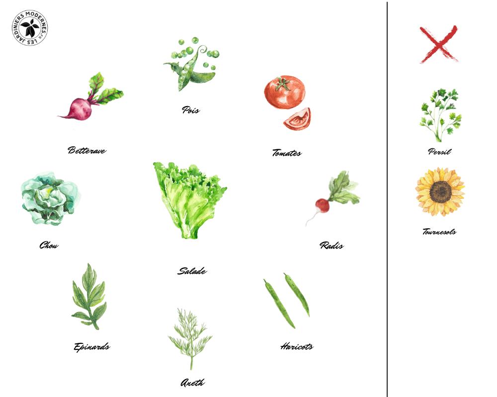 Cultures Associées Salade Hydro Culture